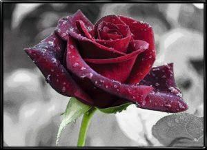 Rose Drops, plakat fra Inda Art med dråbefyldt rose